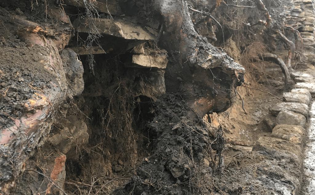 Leylandii roots encasing back stone